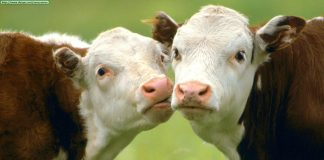 Заговор на скот