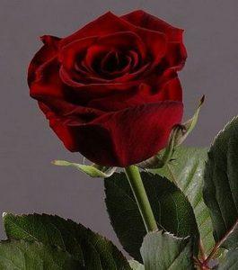 приворот на лепестки роз